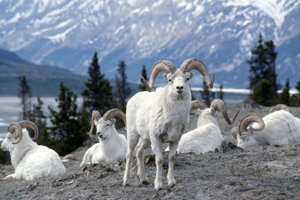 Sheep Mountain in Kluane National Park has an appropriate name