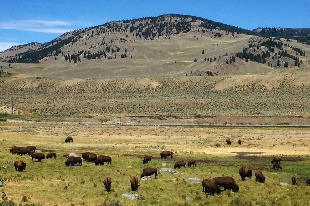 Bison grazing in the Lamar Valley in Yellowstone National Park