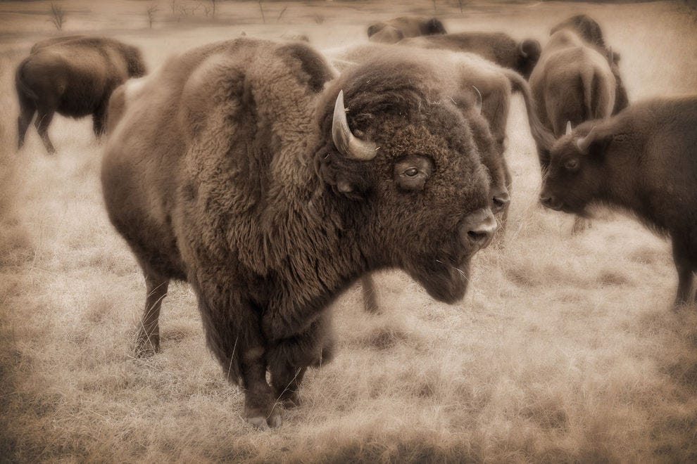 Bison in the Maxwell National Wildlife Refuge