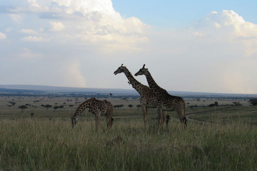 A family of giraffes in Maasai Mara
