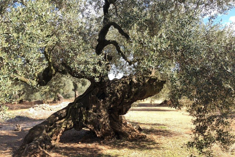 Millenary olive tree