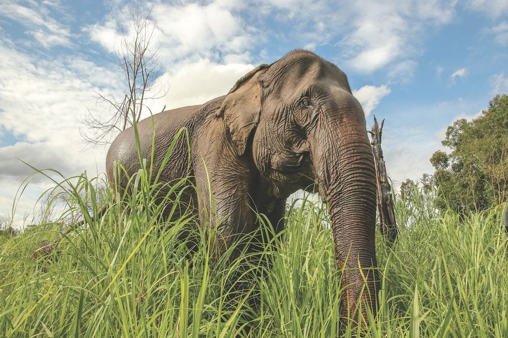 One of the magnificent creatures at Elephant Sanctuary Cambodia