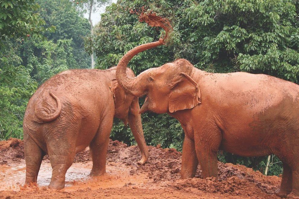 Taking a mud bath is so much fun at Save Thai Elephant Park