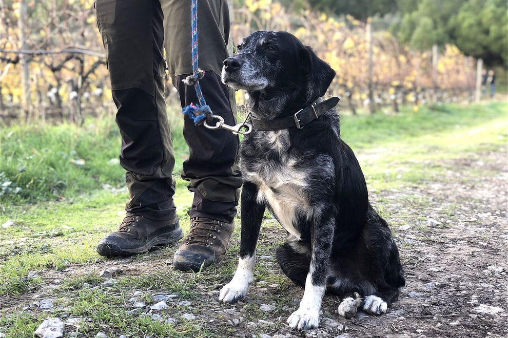 Mousti gets ready to hunt truffles
