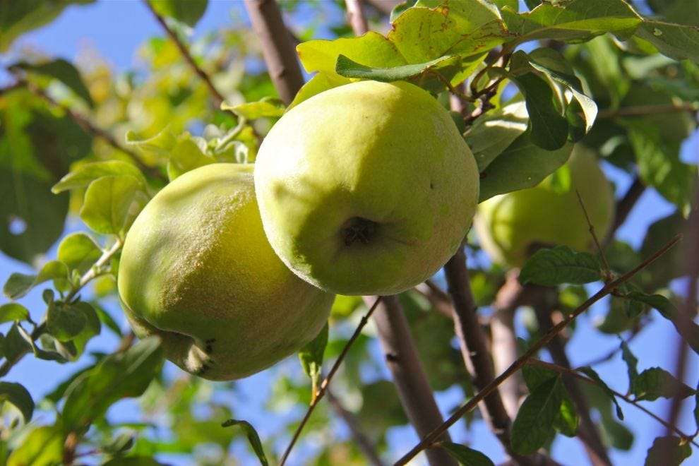 Sonoran Quince grows in the Mission Garden; this high-pectin fruit was introduced by Spanish missionaries in the 1600s