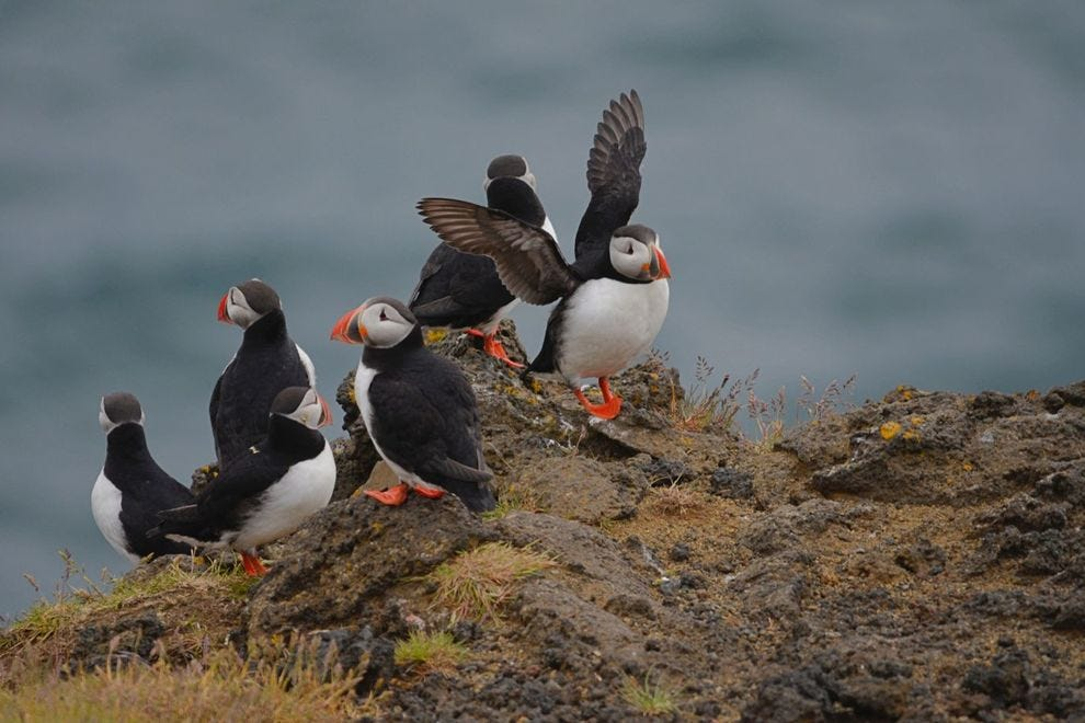 Puffins on the Westman Islands