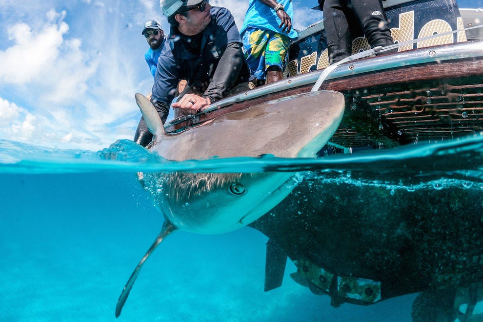 Help study and tag sharks at Grand Isle Resort & Spa