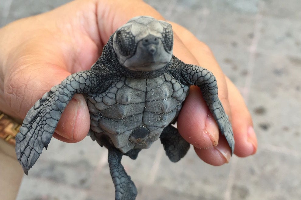 Celebrate the baby tortugas at Marriott Puerto Vallarta Resort & Spa