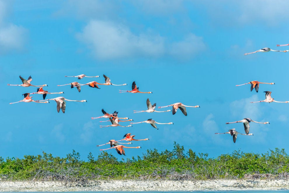 "Flamingos typically fly in a flock known as a ""flamboyance,"" fitting for their showy colors."