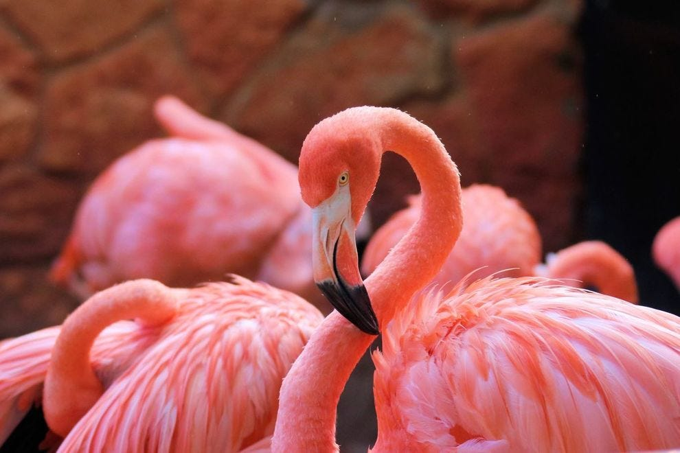 The flamingo habitat is one of San Antonio Zoo's most popular.