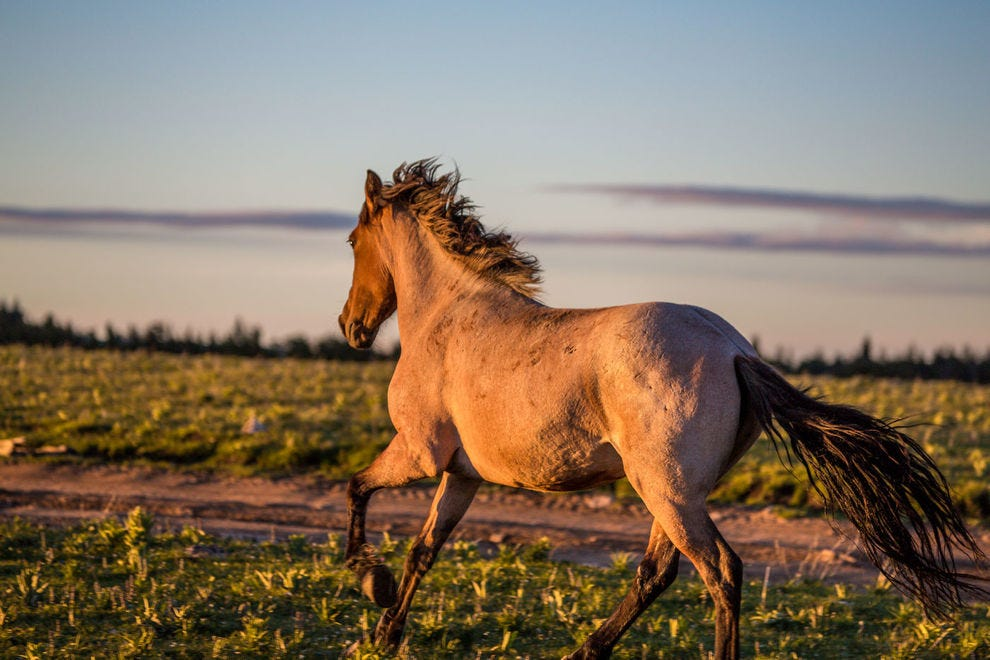 Horses roam free at the Pryor Mountain Wild Mustang Center