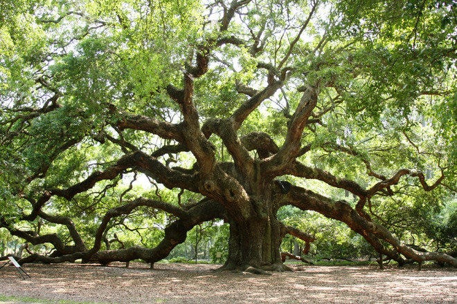 A very old Oak tree in Charleston, SC