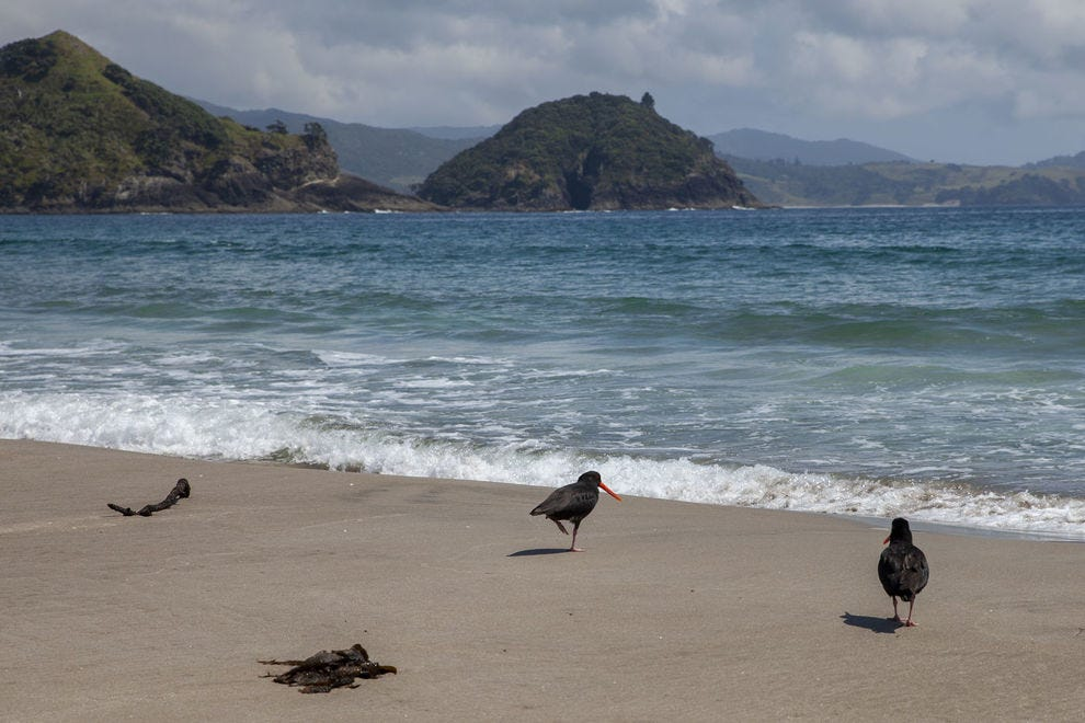 Oystercatchers running across the beach on the Great Barrier Island