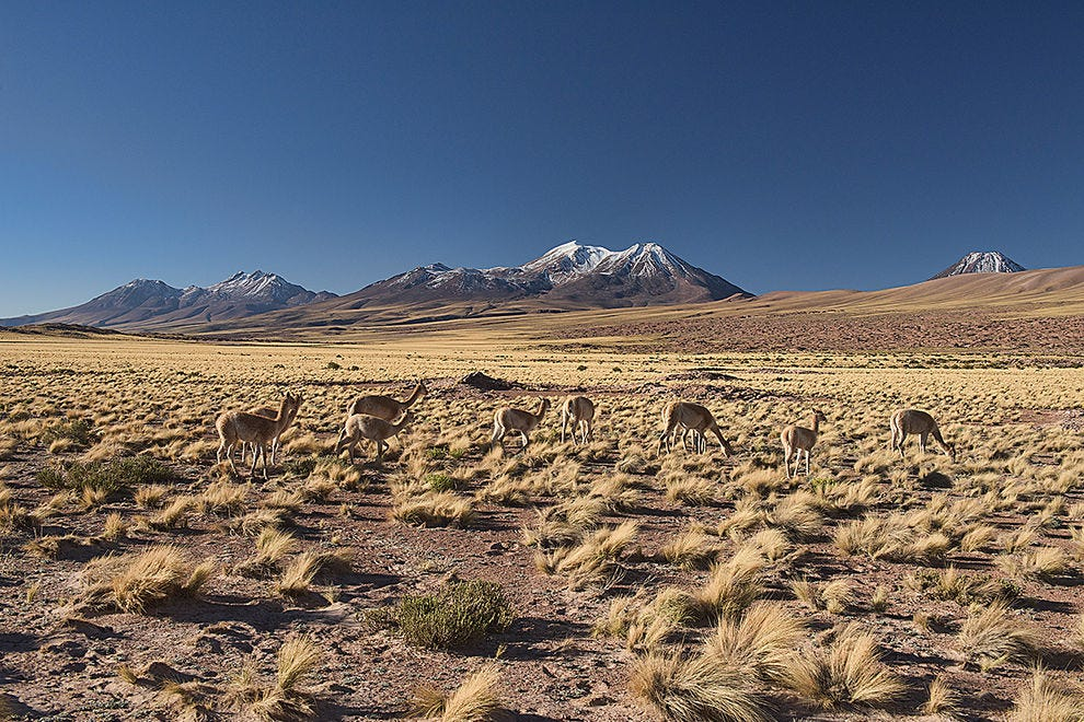 Vicuñas make up most of the population in the high desert