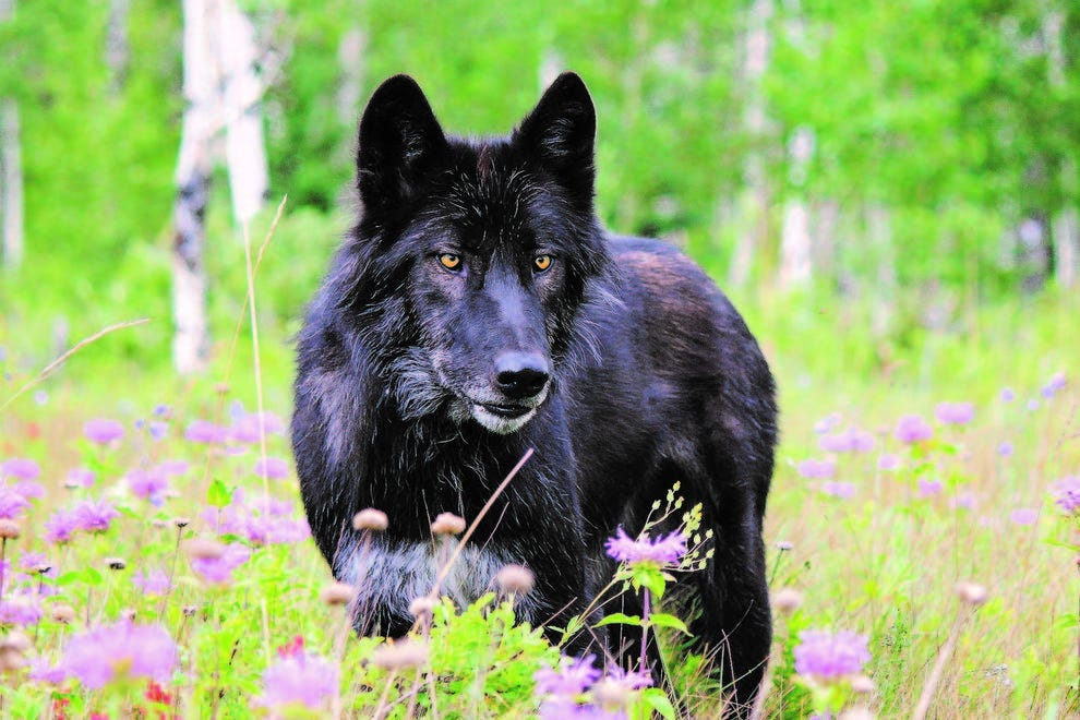 A black wolfdog pauses in the wildflowers at Yamnuska Wolfdog Sanctuary in Cochrane