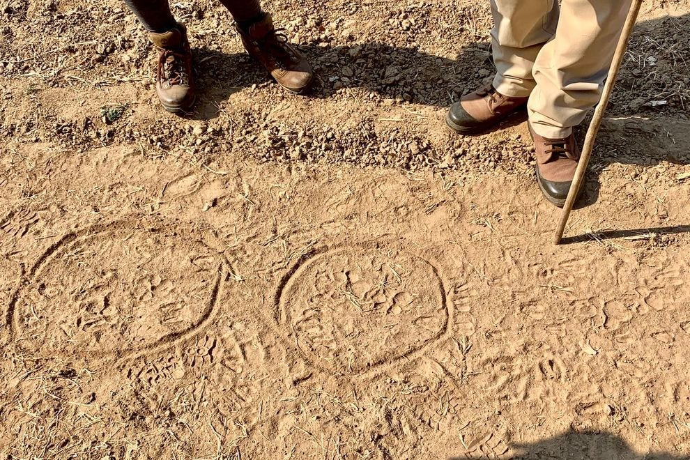 Banda circles paw prints in the dust to show us what has passed through recently