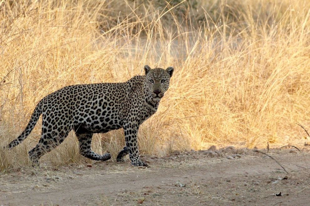Though game sightings are rare by foot, jeep drives ensure the African wildlife spottings you came for