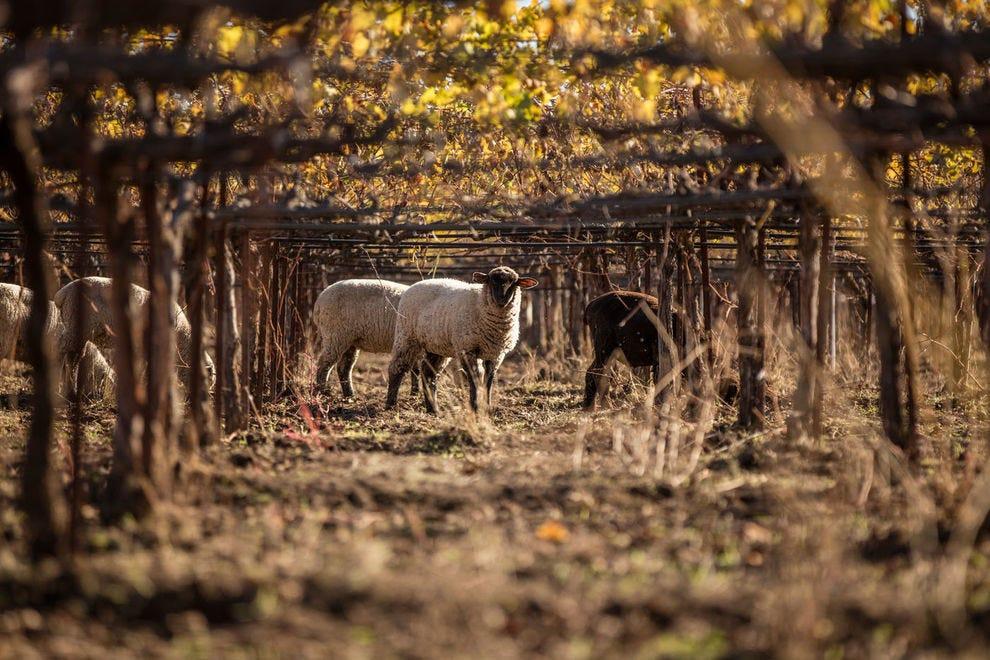 Sheep graze the organic vineyards of Bonterra, offering natural fertilizer