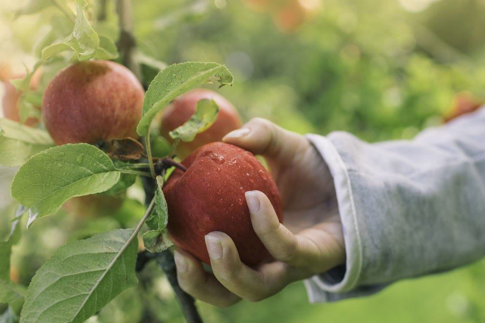 Visitors to winning orchard can pick nine types of apples