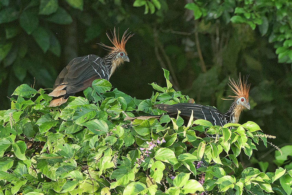 """Hoatzin or """"stinkbird,"""" only seen in the Amazon"""