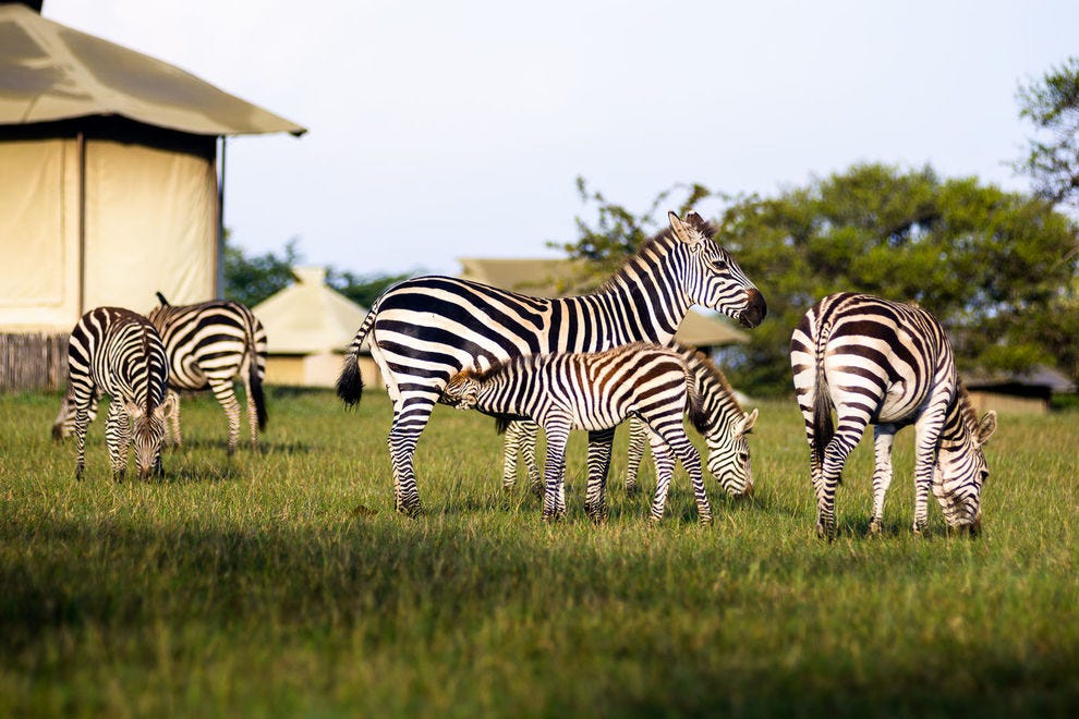 Zebras graze outside Sabora Tented Camp