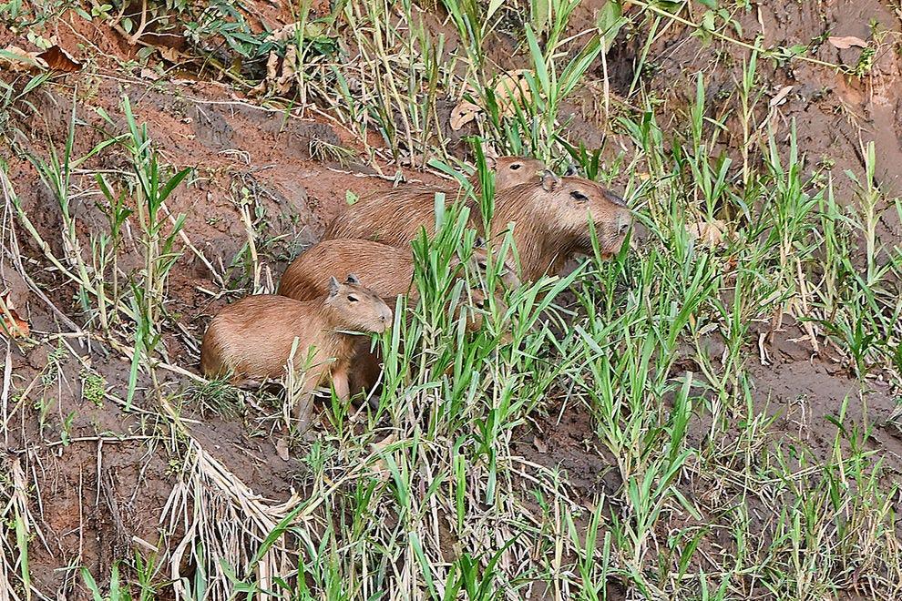 Curious capybaras