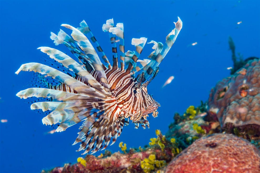 Help reduce the lionfish population by enjoying it fried