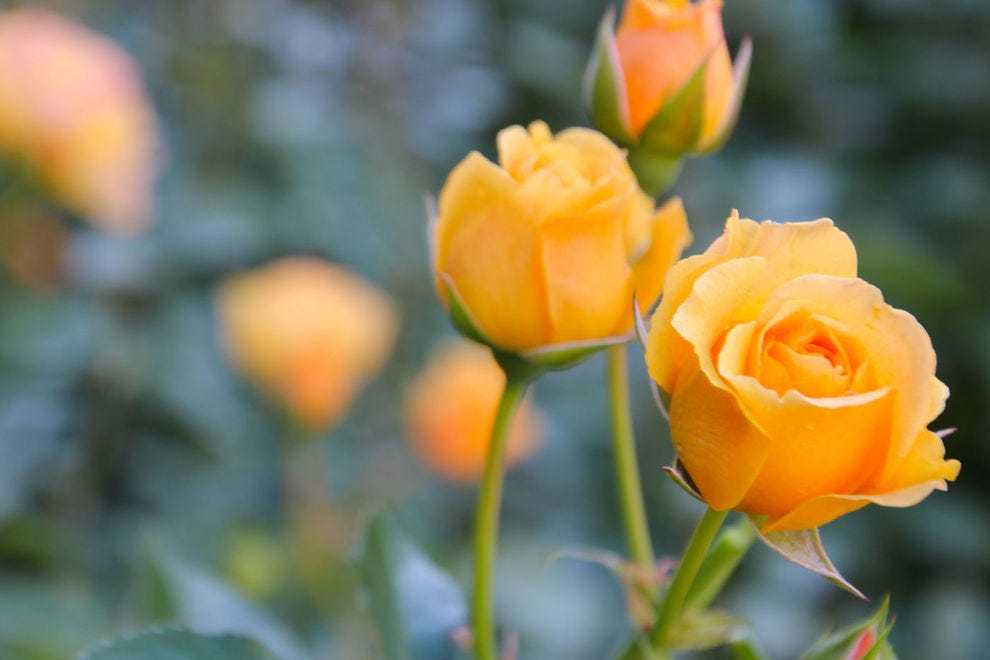 See roses in nearly every variety you could imagine in Portland