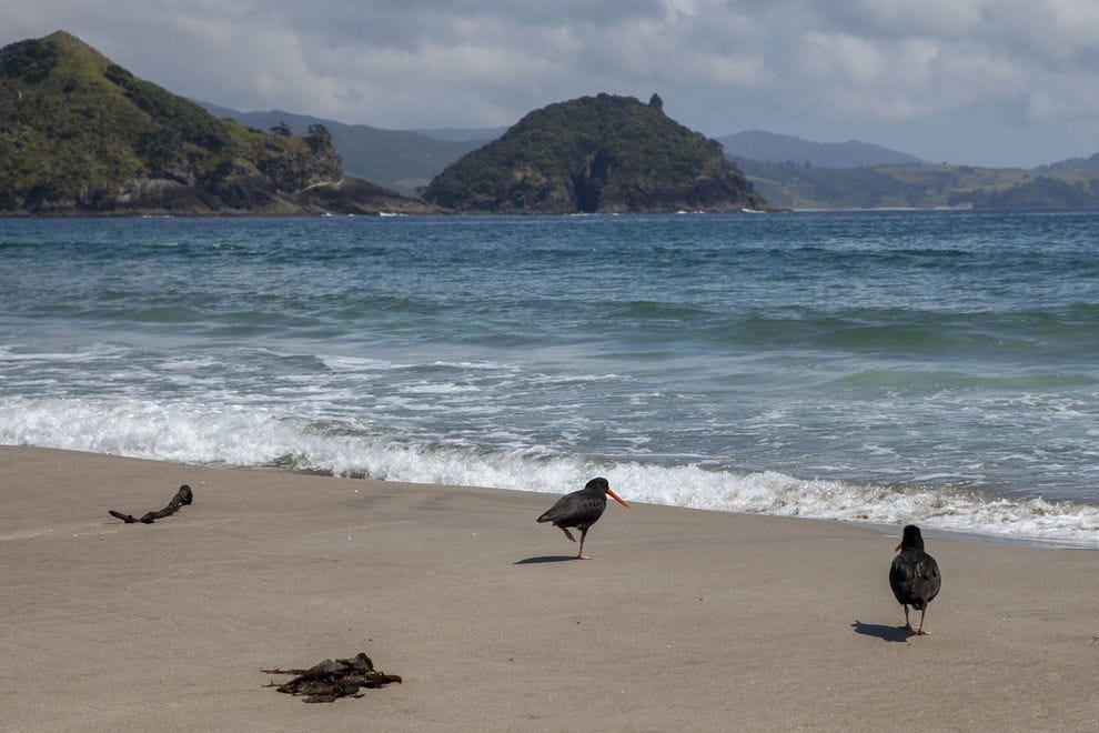 The pied oystercatcher is one of the many animals you'll encounter on New Zealand's Great Barrier Island