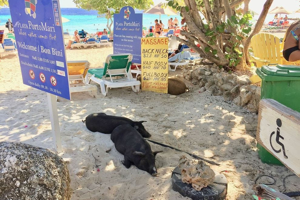 Sleepy pigs on a Curacao beach