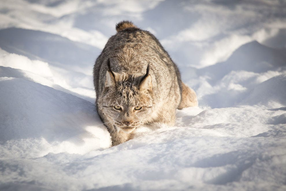 The Canada lynx is one of the many residents visitors may see at the Yukon Wildlife Preserve