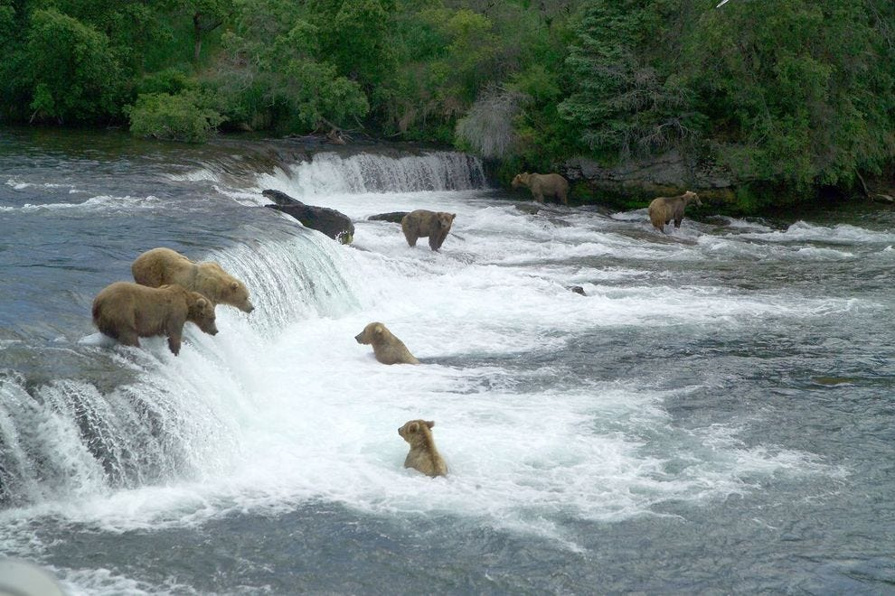 Brown bears can be seen fishing at Brooks Falls in Alaska