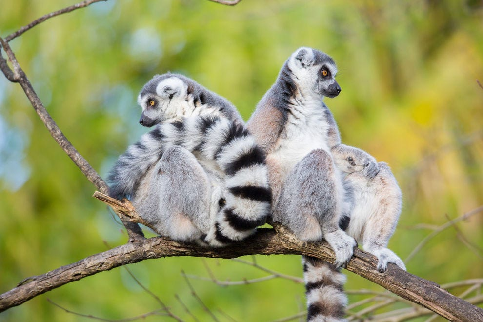 Lemurs hang out at Seattle's Woodland Park Zoo