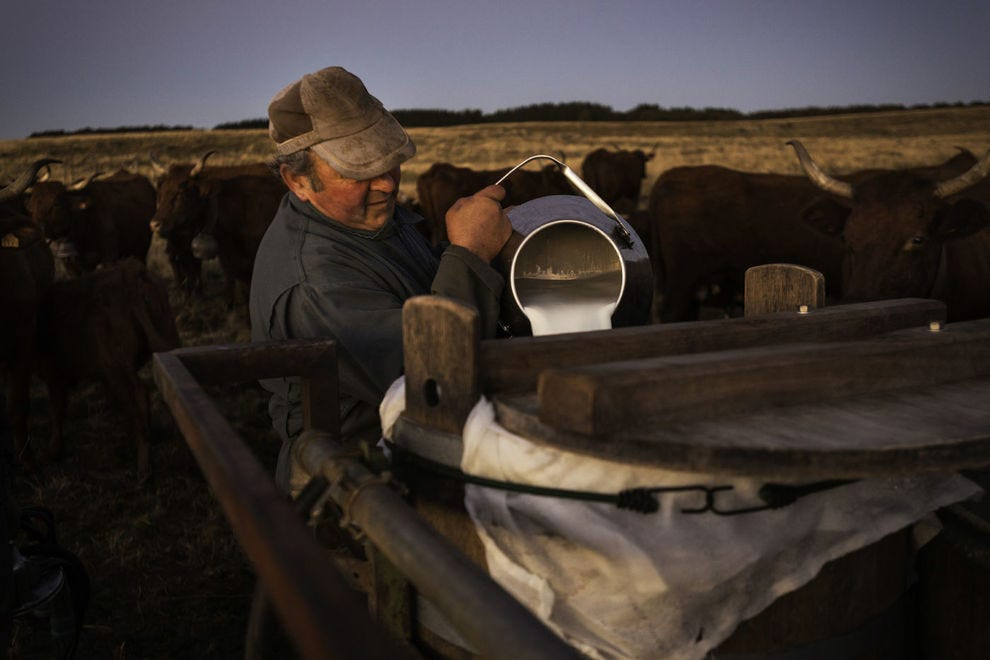A farmer producing Salers