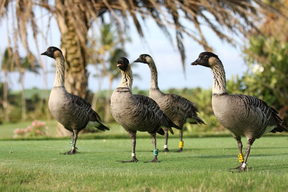 Nene are also known as Hawaiian geese