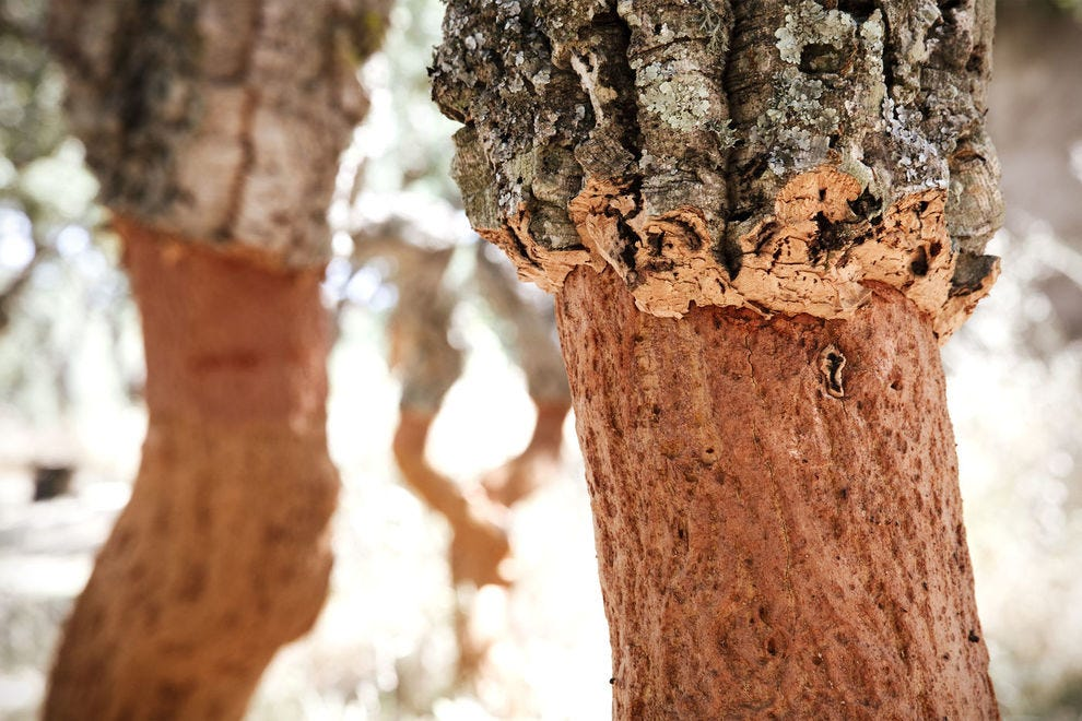 Trees must reach 40 years old before their cork can be harvested for wine stoppers