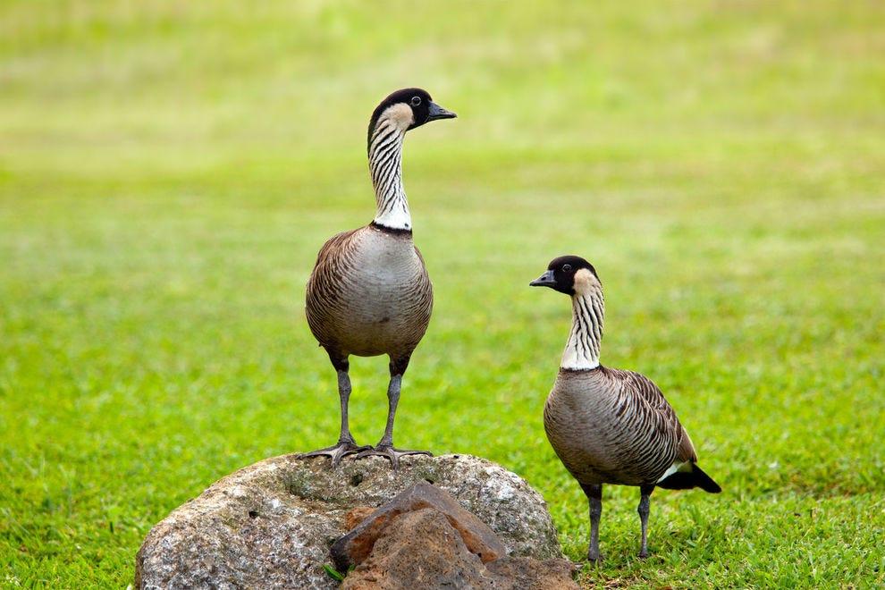 Nene (Hawaiian goose)