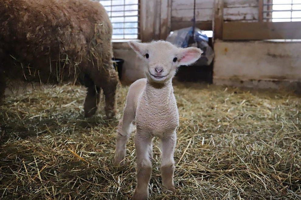 Norman l'agneau