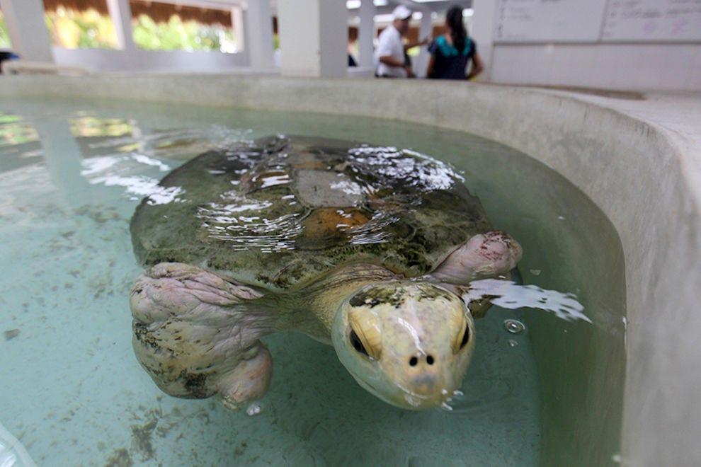 Esperanza la tortue de mer