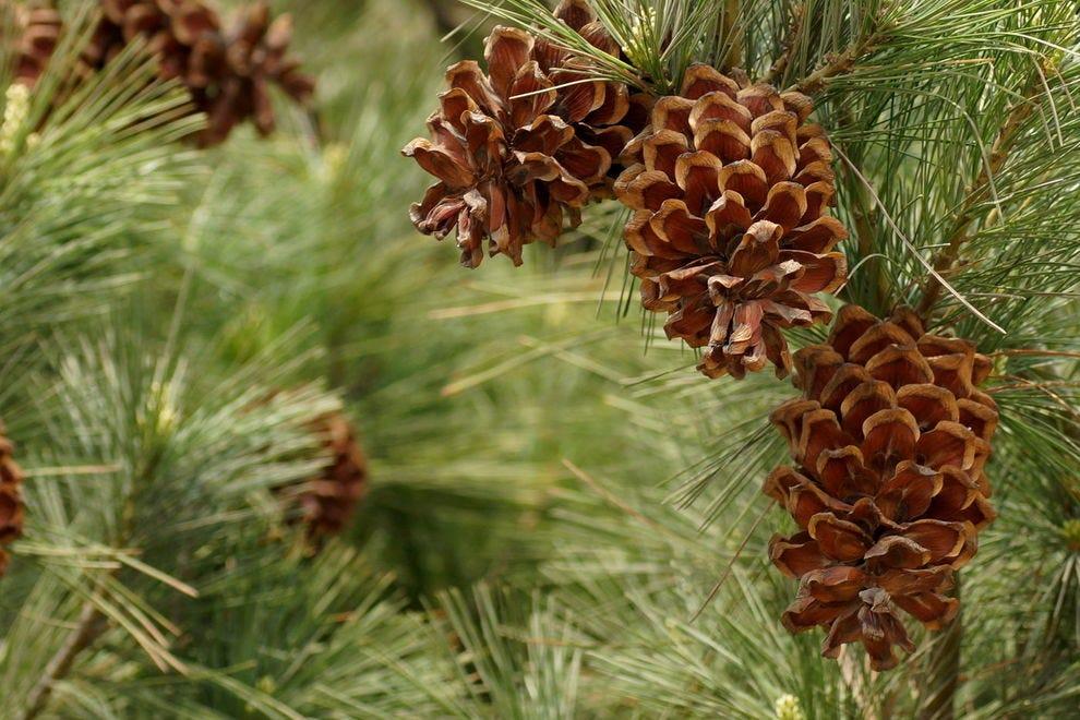 Pine cone & tassel