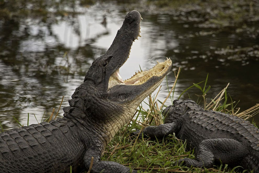 An alligator on a grassy bank in Everglades National Park