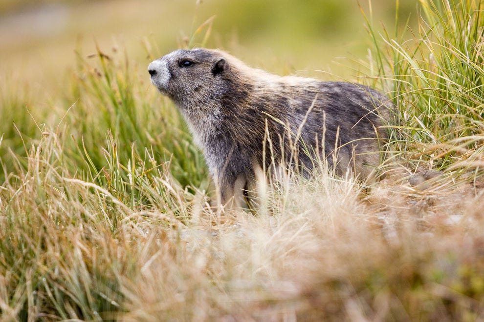 An Olympic marmot at sunrise in Olympic National Park Forest