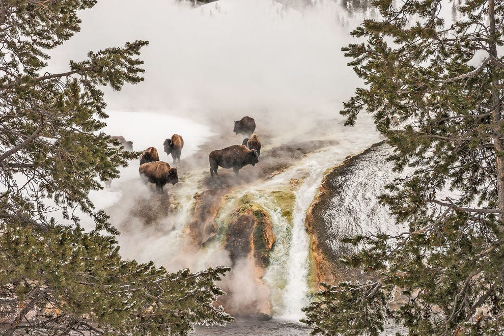 Bison in steam at Yellowstone National Park