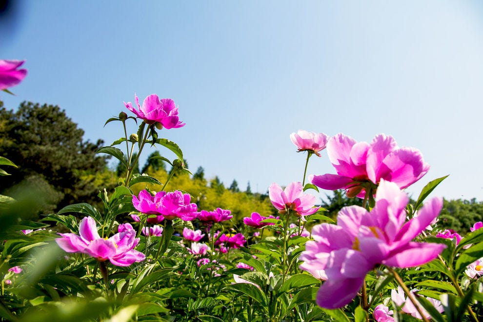 A field of beautiful peonies