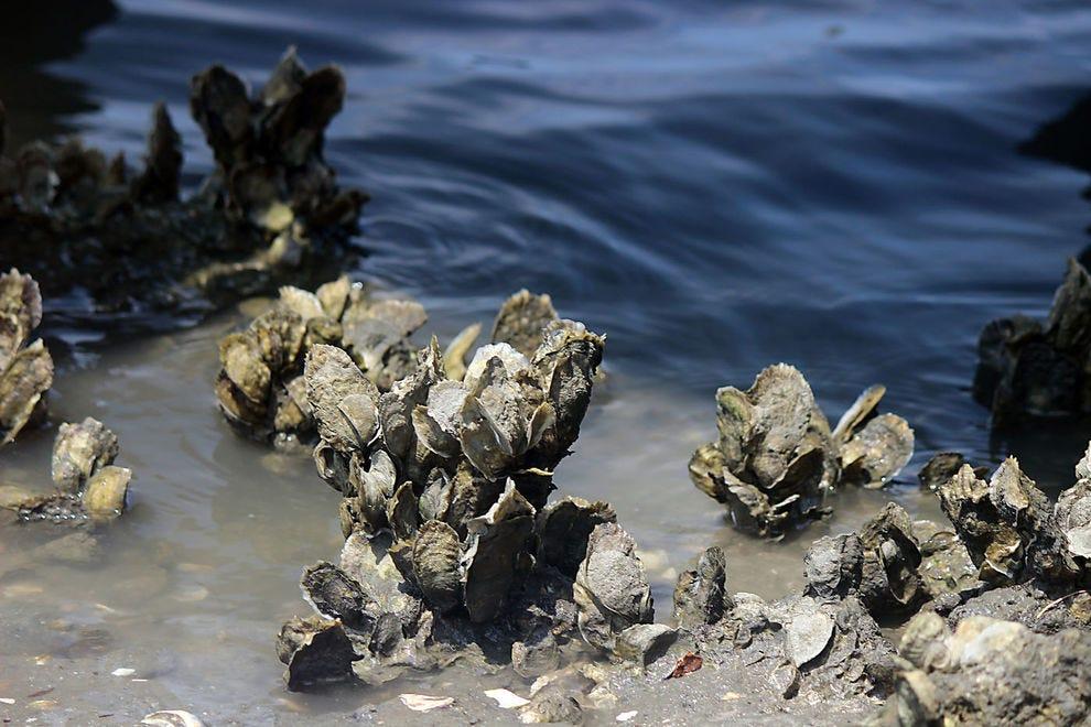 A bed oysters off the Carolina coast
