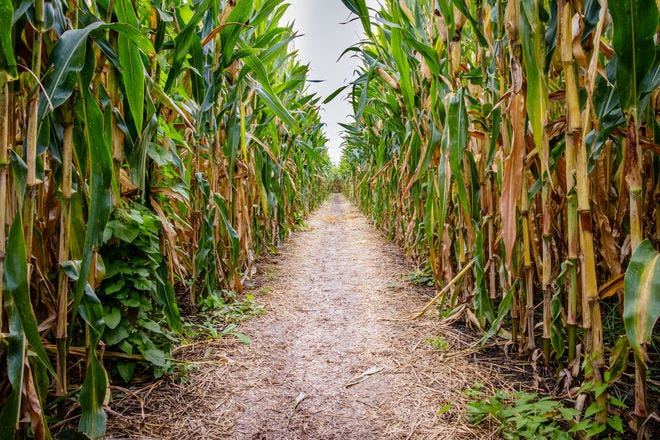 10 corn mazes you need to visit this fall