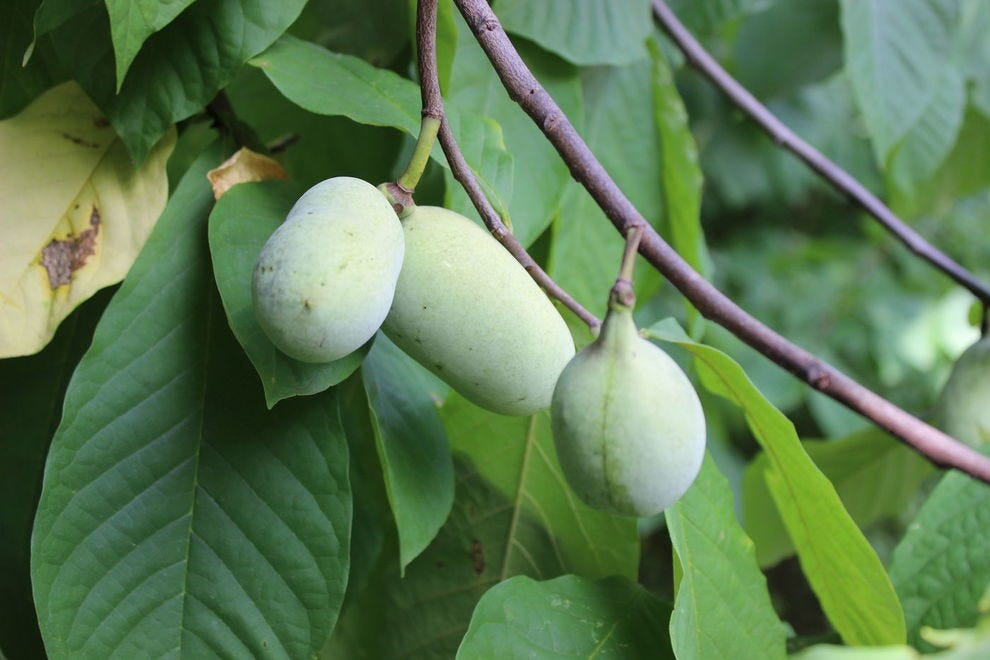 Paw paws on a tree