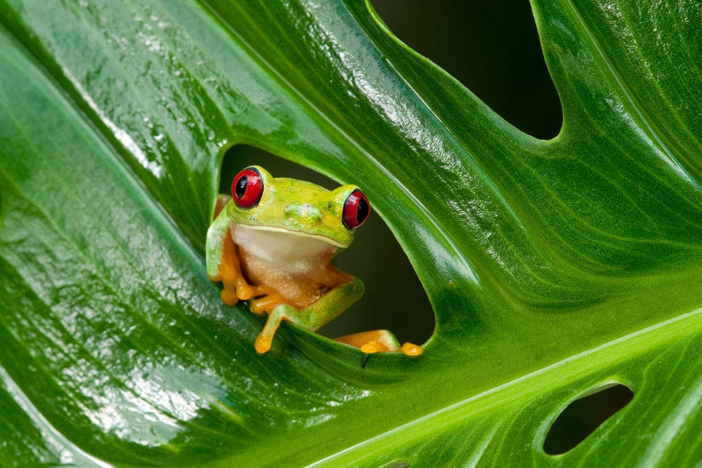 Red-eyed tree frog in a leaf
