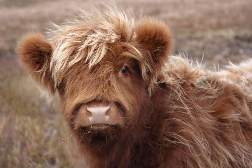 Adorable Highland calf in Scotland