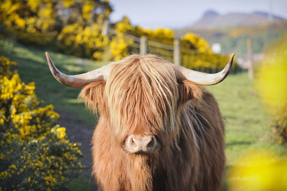 Hairy Highland cow in Scotland
